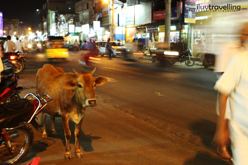 วัวดูเป็นสิ่งมีชีวิตที่แปลกแยกจากรอบข้างมาก คงไม่ต่างจากเอาช้างมาเดิน ถนนใหญ่เหมือนบ้านเรา แต่หน้าตามันนี่สิ ดูไม่ทุกข์นะ นี่คงเป็นสิ่งเดียวที่เราต่างกัน