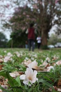 ดอกร่วงหล่นลงพื้นเต็มไปหมด ทำให้พื้นหญ้ากลายเป็นสีชมพูทั่วริเวณ