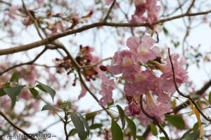 ดอกสีชมพูเข้ม สวยหวานทั้งสองแบบเลย