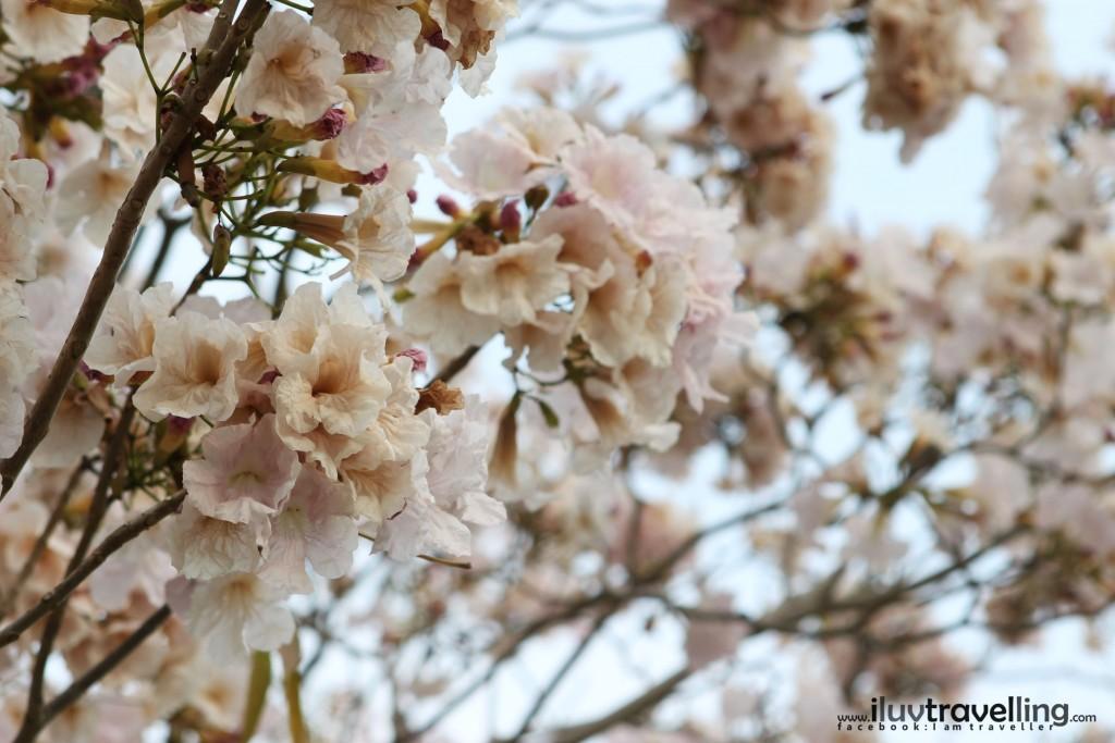 ดอกสีชมพูอ่อน
