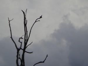 นกเงือก อุทยานแห่งชาติเขาสก เห็นไกลตัวเล็กเมื่อมองด้วยตาเปล่า แต่เจ้าหน้าที่ว่าตัวละมากกว่า 3 โลเลยน๊าา