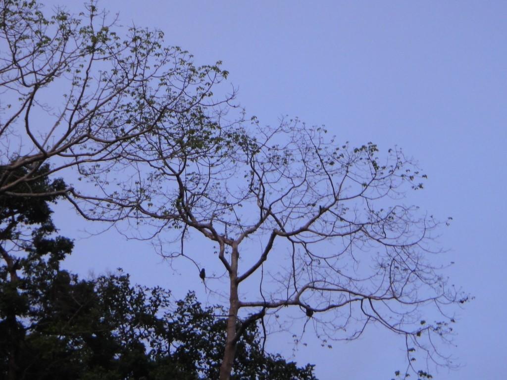 ค่างบนต้นไม้ เห็นหางยาวๆที่ห้อยมาไหมคะ